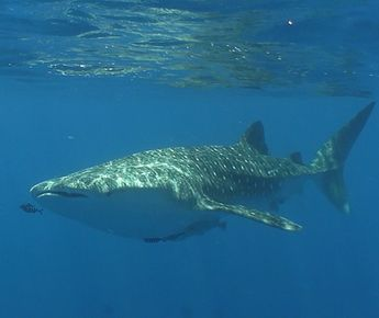 The whale shark week!